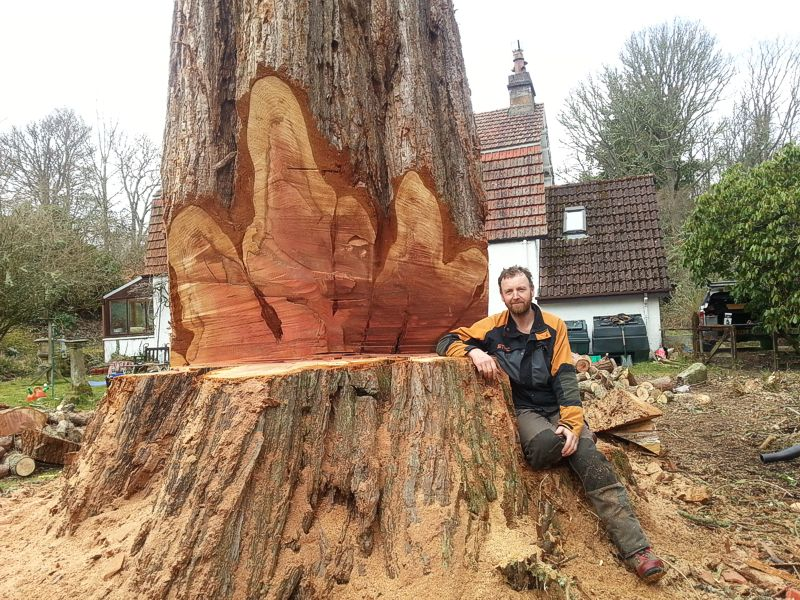 Donnie Martin felling dead Redwood tree